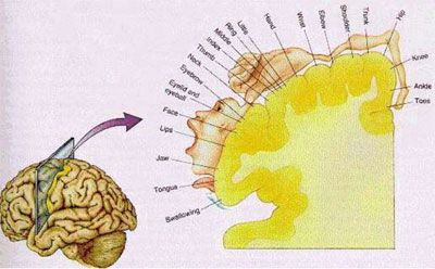 Zien is voelen | Achtergrond | Neurowetenschappen | autisme, beweging, brein, empathie, gedragswetenschappen, hersenen, spiegelen, spiegelneuronen, premotor cortex - Kennislink