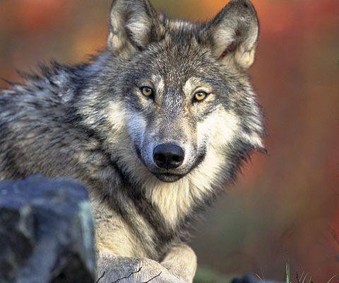 Lobo Cinzento - Tudo Sobre Cachorro