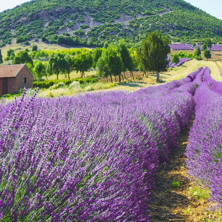 """ #isparta #lavender #turkey"""