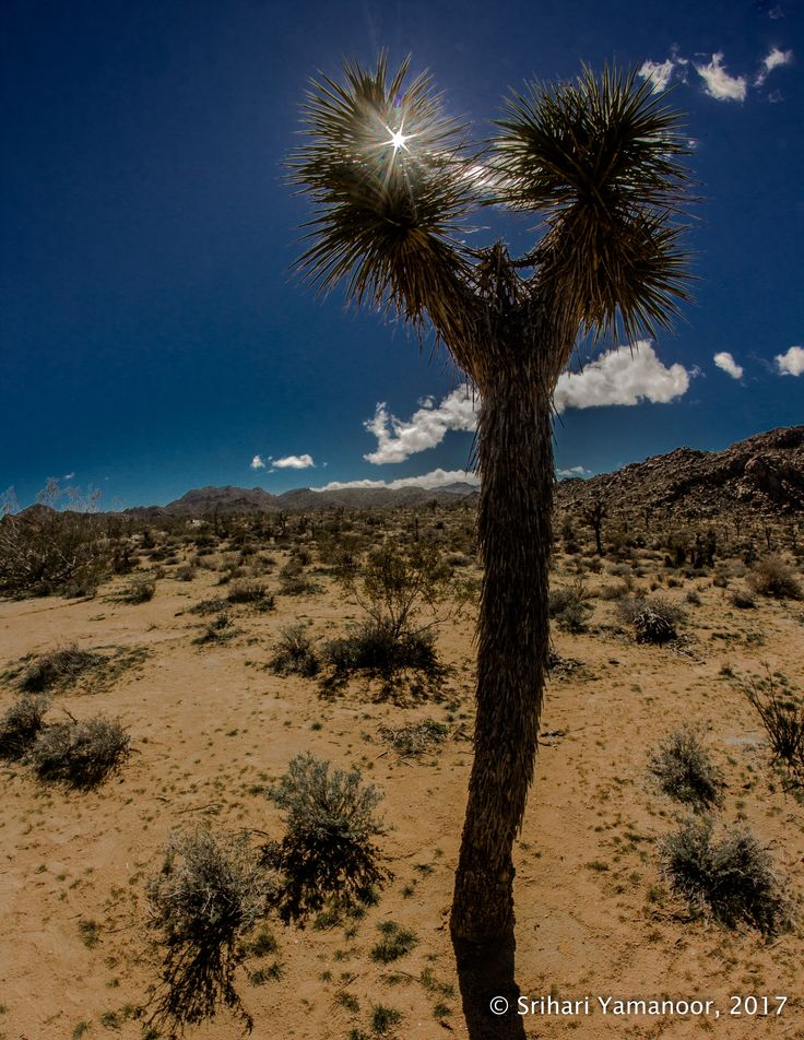 Sunburst - Saw the sun peeking through a Joshua Tree and captured it. Alas, the sensor was dirty. I have tried to cover it, but it still shows.