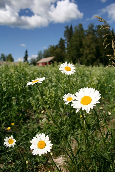 summer flowers: Love Finland! Looks like the UP too...