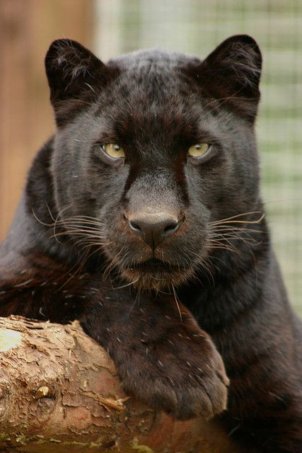 97 best images about BLACK PANTHERS on Pinterest