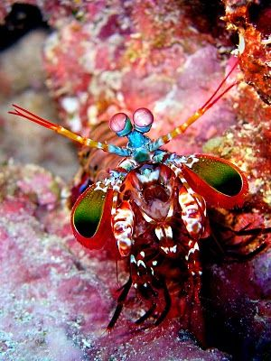 "Peacock Mantis Shrimp- It is reported to have a ""punch"" of over 50mph. The fastest punch of any living animal. Beautiful AND Badass!"