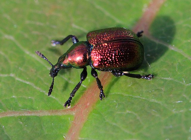 Byctiscus populi Poplar Leaf-rolling Weevil