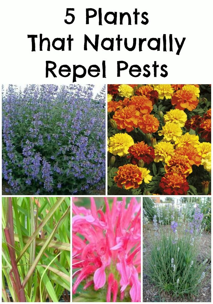 5 Plants That Naturally Repel Pests, repinned by www.HealthyOrganicWoman.com