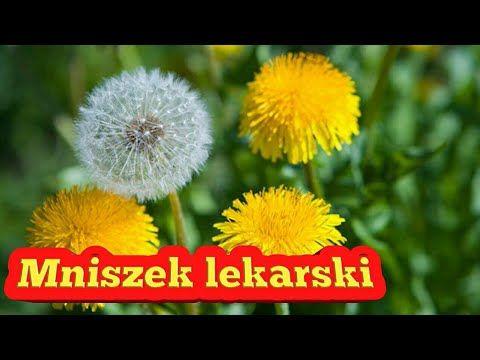 39. Mniszek Lekarski kwiat + liść właściwości - YouTube