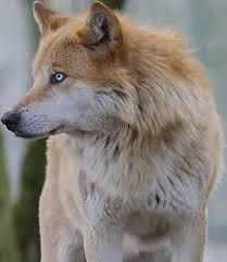 17 best images about wolves on pinterest wolves a wolf and red eyes. Black Bedroom Furniture Sets. Home Design Ideas
