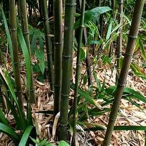 Chimonobambusa quadrangularis na San Marcos pestovateľov