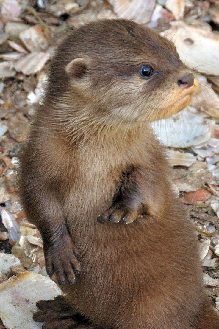 Cool little Otter
