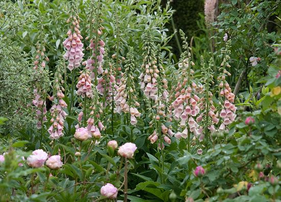 Tweejarigen zaaien - Digitalis purpurea 'Sutton Apricot'