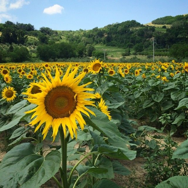 Passed by a sun flower field in Santa Paola