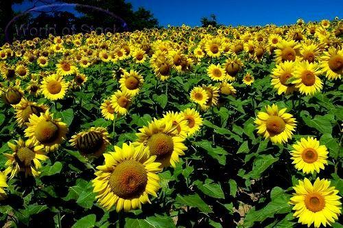 Tanaman yang Bisa di jadikan obat yaitu Bunga Matahari