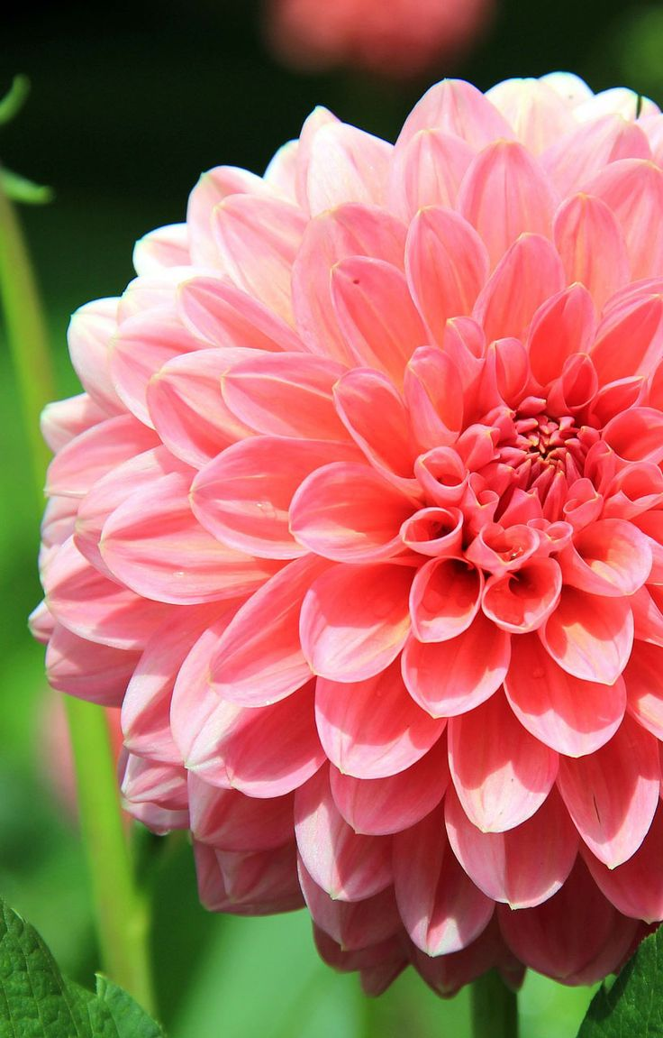 Beautiful pink flower, 35 best flower photos