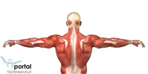 Powierzchowne mięśnie grzbietu #miesnie #anatomia #wiedza #nauka #studia #fizjoterapia