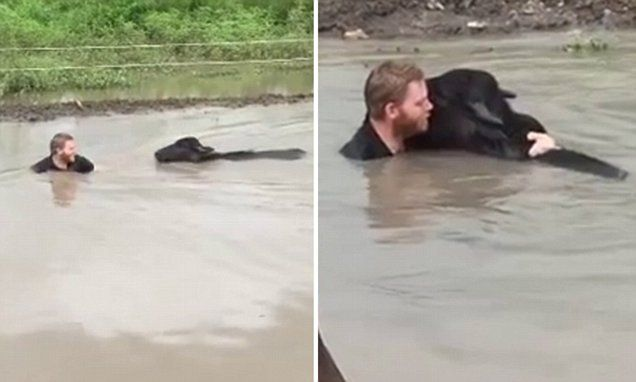 Heartwarming moment a man rescues a cow from raging floodwaters