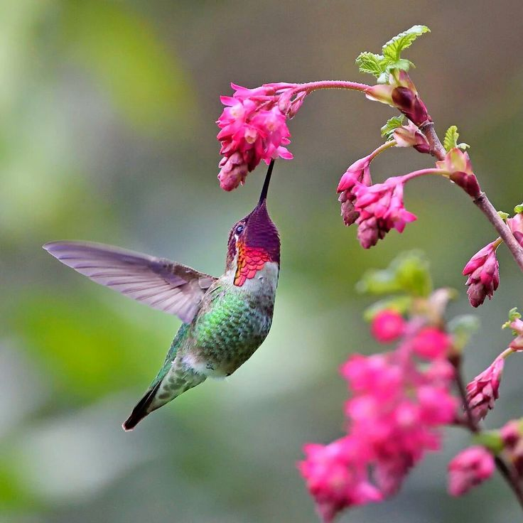 A male Anna's Hummingbird & redflowering currant, by