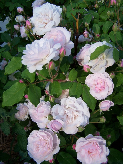 Blush Noisette.climber -good repeat flowering. Hardy and reliable. Also makes a good shrub.8ft
