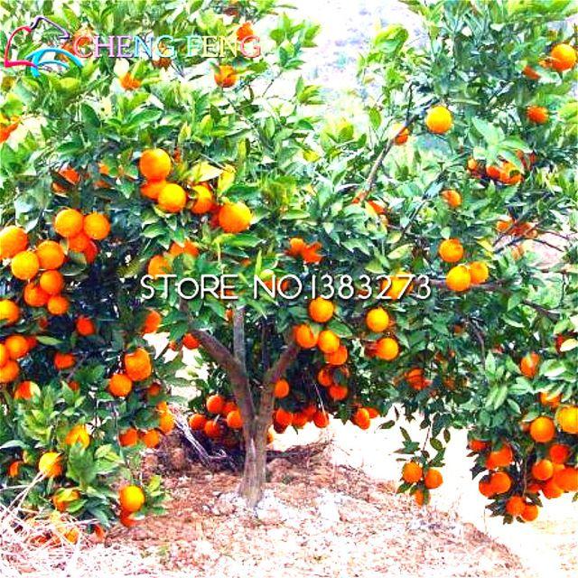Бесплатная доставка 30 Семена Семена Балконные Фруктовые деревья, посаженные Пот Кумкват Citrus Orange Семена Посадка Горшки Бонсай Сад *