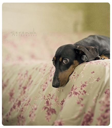 This is how my dachshund looks when she knows I'm getting ready to leave the house for awhile!