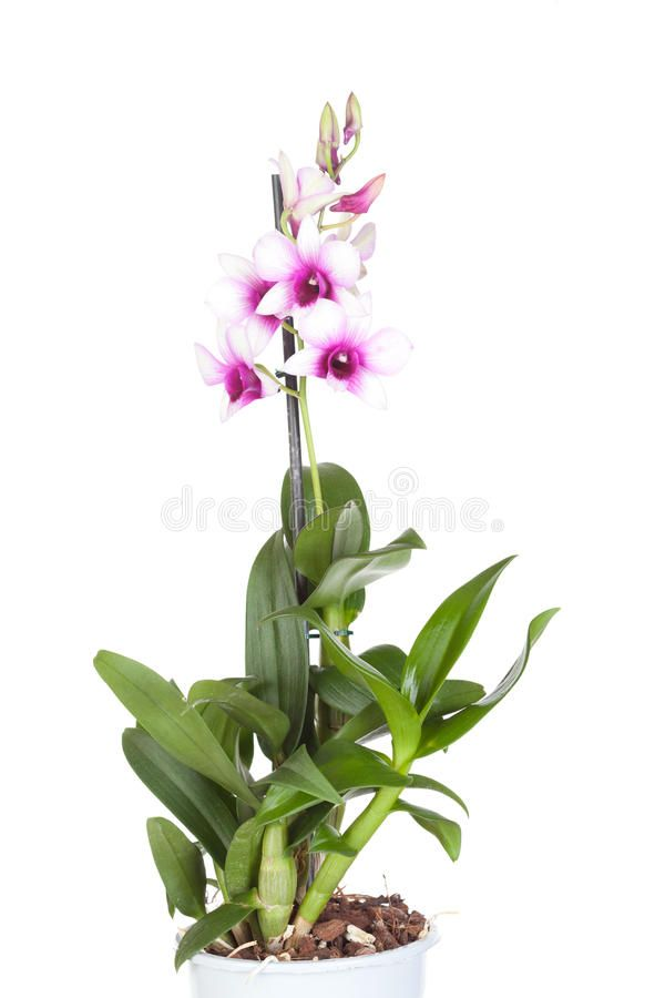 Dendrobium Kingianum Blooming Orchids Blooming Orchid Dendrobium Orchids