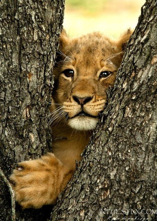 baby lion in tree