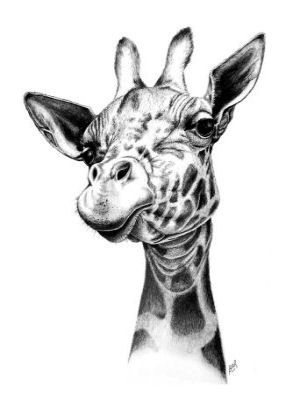 Gallery For > Pencil Drawings Of Giraffes