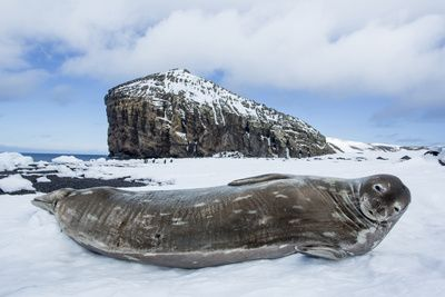 Weddell Seal resting on Deception Island, Antarctica