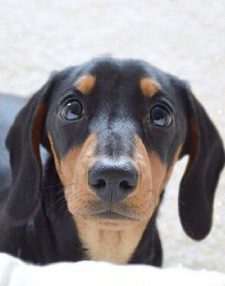 ❤ Who me?  Honestly I had nothing to do with it. Look at my face. doxie