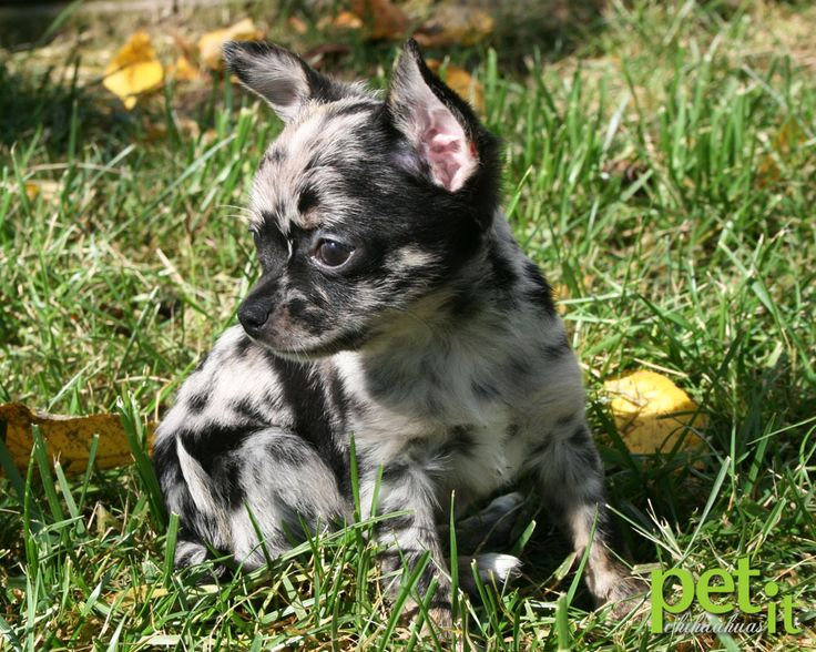 blue merle chihuahua pet it chihuahuas Pet it Dog