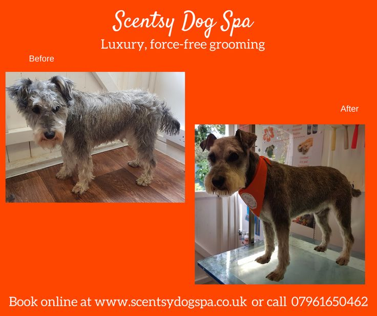 21 best dogs before and after images on pinterest dog grooming a westie x minature schnauzer groomed at scentsy dog spa his owner wanted him very solutioingenieria Gallery