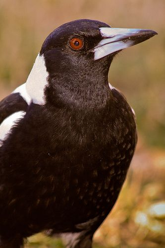 Tasmanian Magpie---Also known as, Erikas Alarm Clock. :)