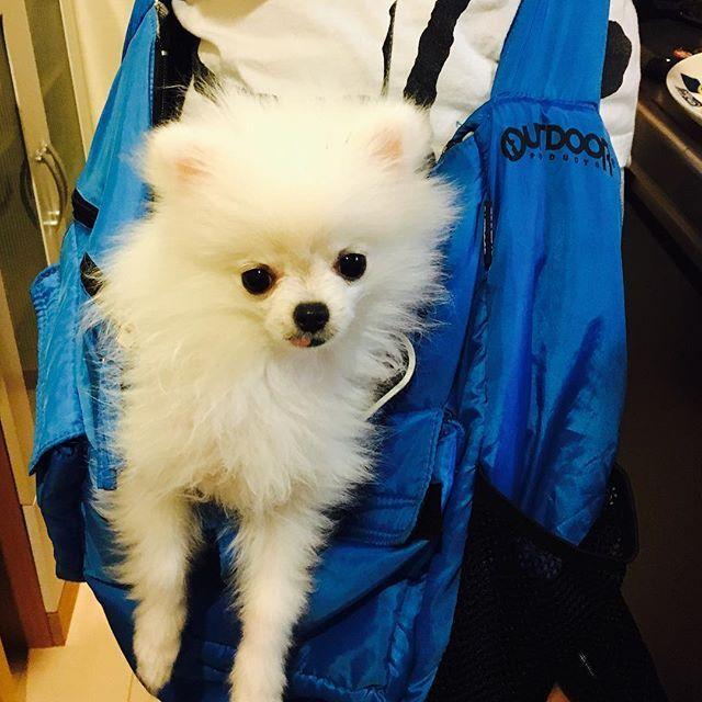家でお出かけの練習中(´・ω・`) #ラフ君  #モフモフ #白いポメラニアン#愛犬 #目くりくり #いつもベロ出てる #お出かけ用バッグ #キッチン好き