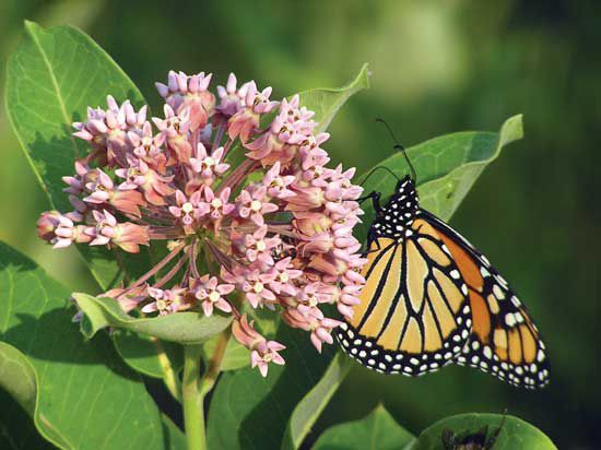 Help Save the Monarch Butterfly: As their population declines by alarming numbers, monarch butterflies need your help. Planting milkweeds — the only host plant used by monarchs — provides much-needed habitat. From MOTHER EARTH NEWS magazine.