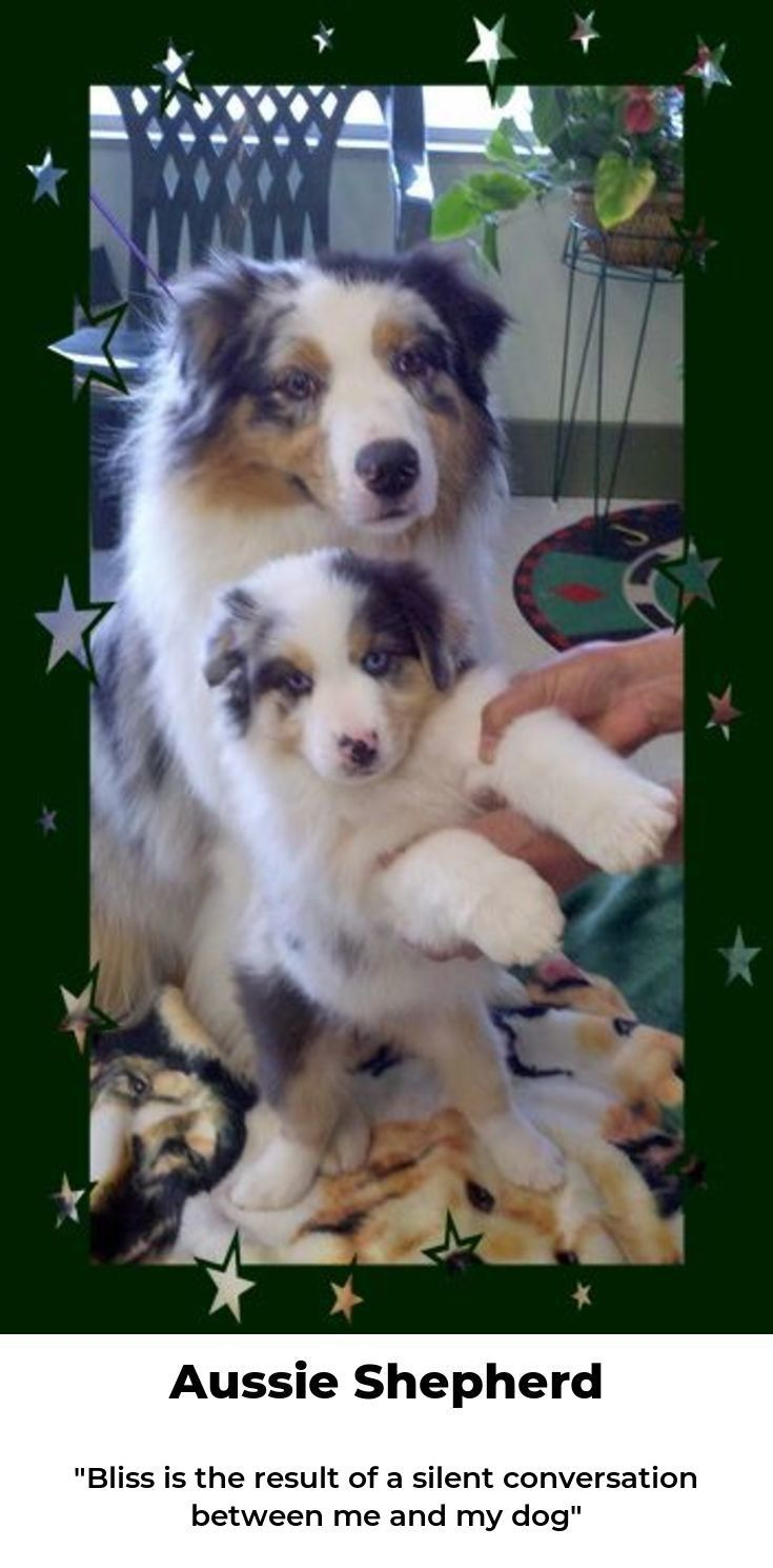 Australian Shepherd Puppies Hd Wallpaper Australian Shepherd