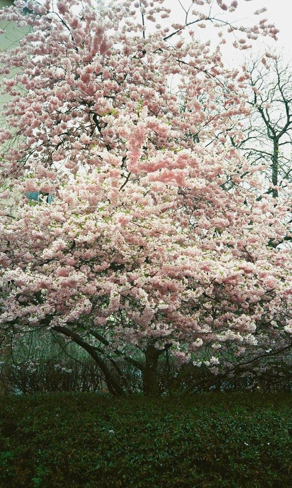 Stunning Views: Cherry Blossoms, Vienna, Austria