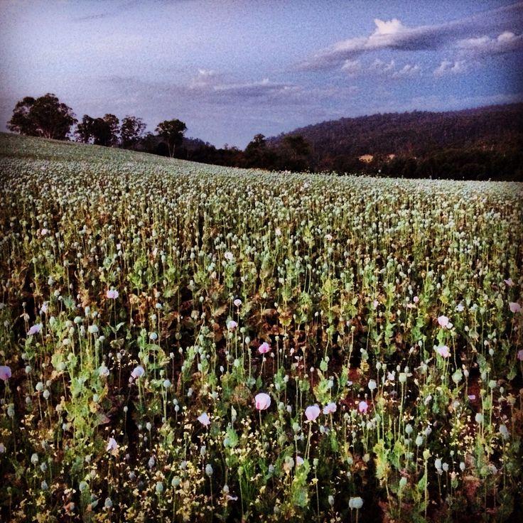 A photo a day keeps the boredom away Poppy fields #farmlife