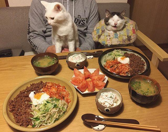 八『ビビンバ〜〜〜♩』 おこ『!?』 おこちゃん何見てんの〜? 宇野家のビビンバは楽チン♩好きなお肉を好きな焼肉のタレで炒めて、ナムル作って、キムチと温玉のっけるだけ〜。 #八おこめ #ねこ部 #cat #ねこ #八おこめ食べ物 #ビビンバ丼