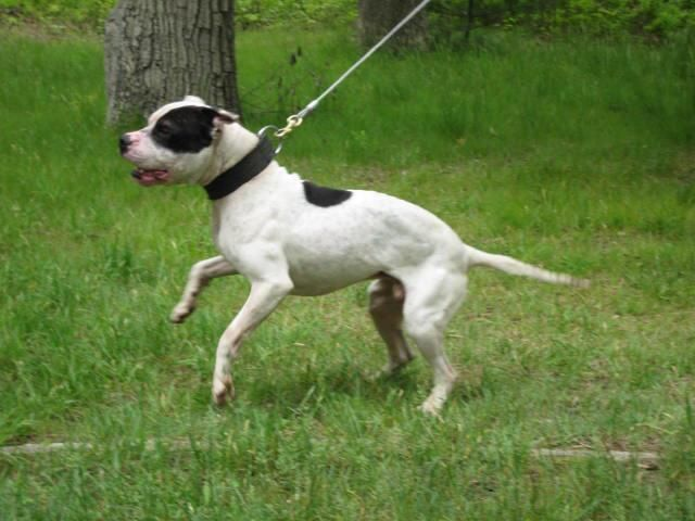 CH SDBS BAD BOY 4xW BIS – Game Dogs History | best bred pitbulls