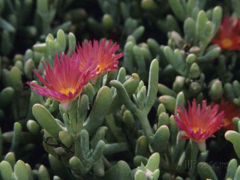unusal flowering succulent plants | Carpobrotus Succulent Plants with Their Flowers Photographic Print