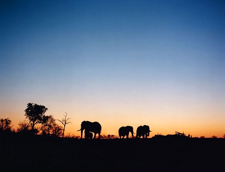 Avoiding Botswana's brutal autumn sun, these elephants near Savuti emerged at dusk. Buffalo, giraffes, and wildebeests also favor sunset, while lions appear more frequently at dawn: Buckets Lists, Dawn Travelcompanion, Favors Sunsets, Autumn Sun, Avoid Botswana, Botswana Brutality, Travelcompanion Avoid, Travel Buckets, Brutality Autumn