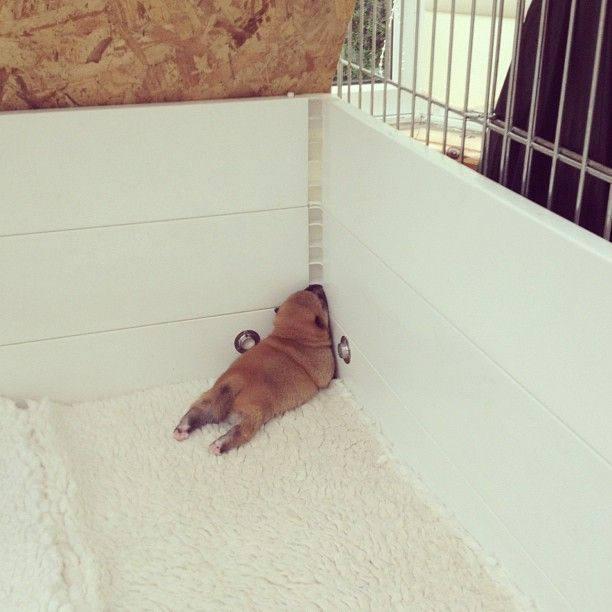 Puppy shiba inu sleeping :)