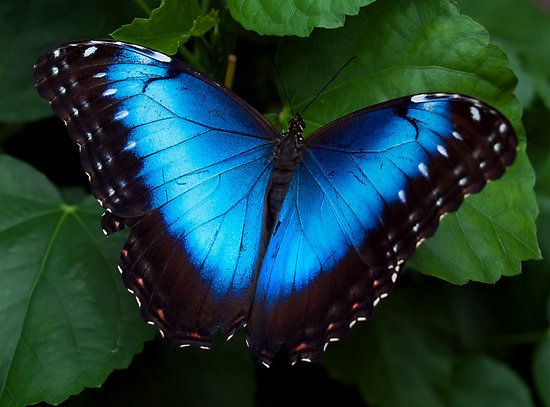 Blue Monarch Butterfly | The World's Most Beautiful Butterflies « Butterflies World