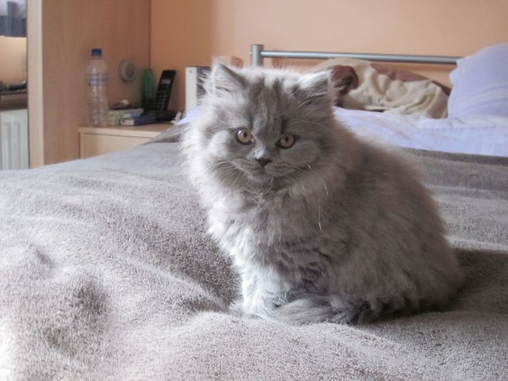 british-blue-longhair-kitten-female-5266493d805d1.JPG (JPEG Image, 1280 × 960 pixels) - Scaled (73%)