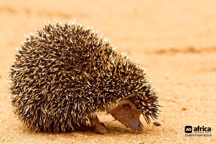 With 17 different species of hedgehog in the world, the most common domesticated hedgehog is the nocturnal and solitary African Pygmy Hedgehog. But director of Africa Geographic Travel, Christian Boix, was lucky enough to see one in the wild on a recent trip to coastal Kenya.