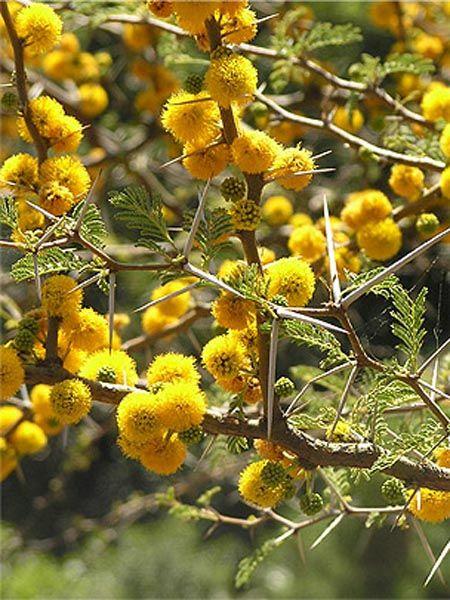 Acacia caven   Trees   Patagonia Plants