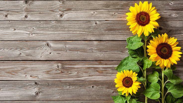 Sonnenblumen säen im Garten | Girassol da aquarela, Jardim