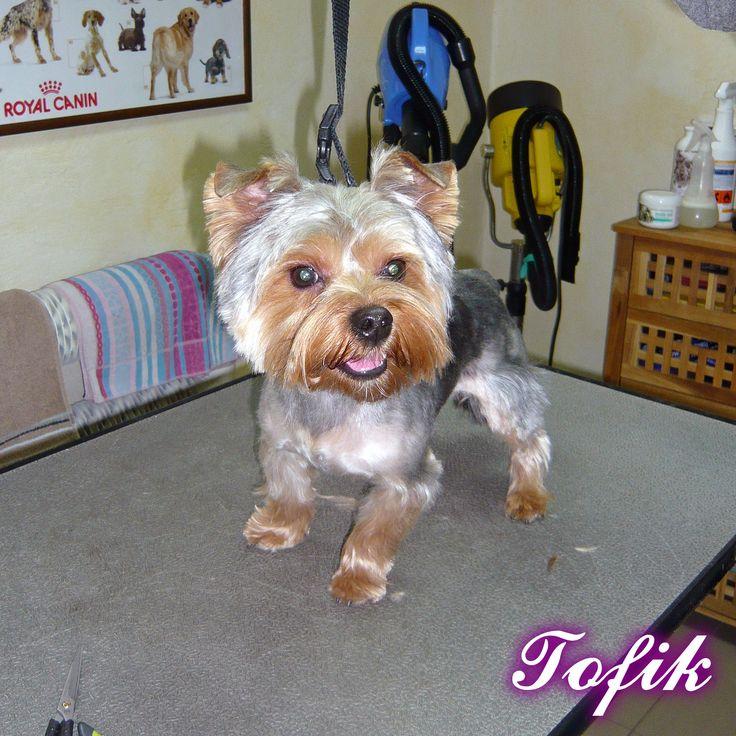York Tofik - Psi Fryzjer Snow Star on Psi Fryzjer Toruń - Salon Psiej Urody Snow Star w Toruniu  http://psiafryzurka.pl/social-gallery/york-tofik-psi-fryzjer-snow-star