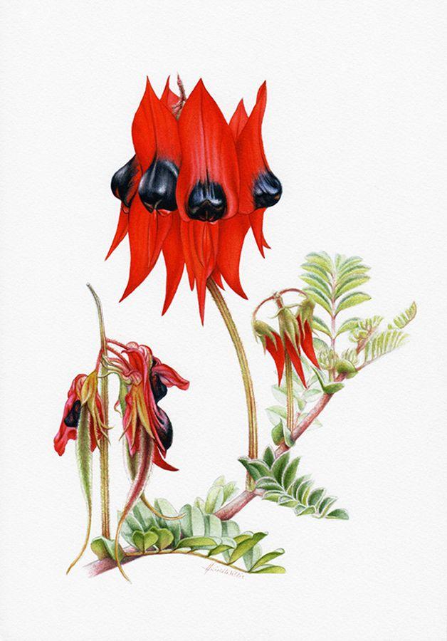 Sturt's Desert Pea Botanical Illustration ~ Australian Geographic Magazine Issue 130-0