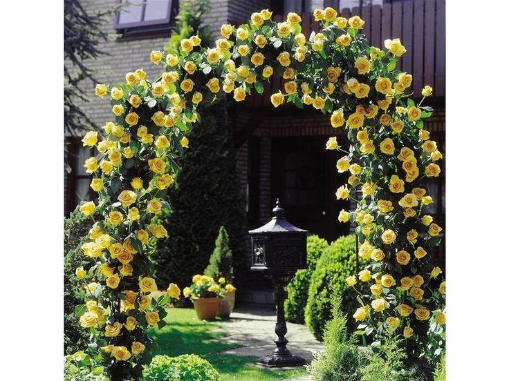popínavé ruže