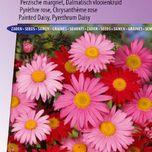 Chrysanthème rose, Pyrèthre Robinson's Giants Mix